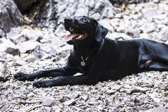 Very happy black lab laying in the rocks Royalty Free Stock Photo