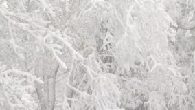 Very heavy snowfall. Video of very heavy snowfall in a New England forest stock video