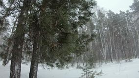 Very heavy snowfall in the winter forest. Very heavy snowfall in the winter forest stock video