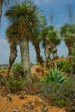 Very high cactus plants on the knoll. Royalty Free Stock Photos