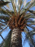 Very high palm tree. Palm tree pointing to the sky Royalty Free Stock Photo