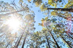 Very High Pine Wood Forest Royalty Free Stock Photography