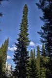 Very high spruce tree Royalty Free Stock Photos