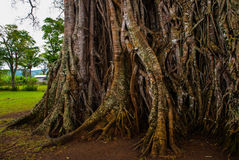 Very huge, giant tree with roots and green leaves in the Philippines, Negros island, Kanlaon. Royalty Free Stock Photography