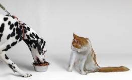 Very hungry dog eat dalmatian Royalty Free Stock Image