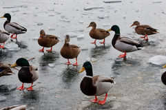 Very hungry ducks Stock Images