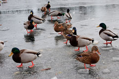 Very hungry ducks Royalty Free Stock Image