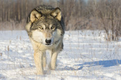 Very intense gaze of timber wolf. In snow Royalty Free Stock Image