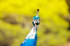 Very interested peacock Royalty Free Stock Photos
