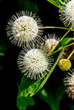 A Very Interesting Closeup of the Spiky Nectar-Laden Globes (Blooms) of a Wild Button Bush Royalty Free Stock Image
