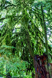 A Very Interesting Mystical Cedar Tree Covered with Moss Royalty Free Stock Photos