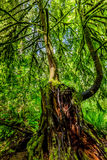 A Very Interesting Mystical Cedar Tree Covered with Moss Royalty Free Stock Photo
