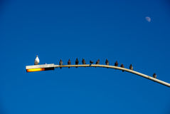 Very Interesting Shot of Birds on Light Pole All But ONE Facing Same Direction. Royalty Free Stock Photo