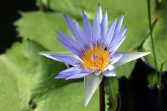 Very juicy blooming Lotus Royalty Free Stock Photo