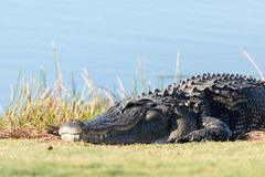 Very large American Alligator mississippiensis basking on the si. De of a pond on a golf course in Florida Stock Image