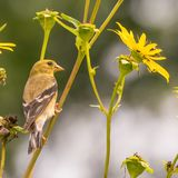 Very large baby / juvenile goldfinch - still getting fed by a parent -  in the Minnesota River National Wildlife Refuge in Bloomin. Gton Minnesota royalty free stock images