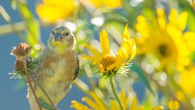 Very large baby / juvenile goldfinch - still getting fed by a parent -  in the Minnesota River National Wildlife Refuge in Bloomin. Gton Minnesota royalty free stock photos