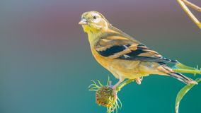 Very large baby / juvenile goldfinch - still getting fed by a parent -  in the Minnesota River National Wildlife Refuge in Bloomin. Gton Minnesota stock photography