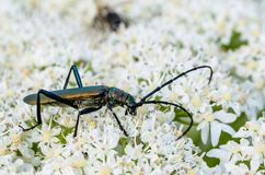 Very large beetle with long mustaches sits on the inflorescence. Of the cow grouse royalty free stock photos