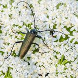 Very large beetle with long mustaches sits on the inflorescence. Of the cow grouse stock photo
