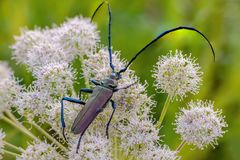 Very large beetle with long mustaches sits on the inflorescence. Of the cow grouse royalty free stock photography