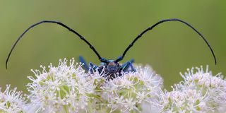 Very large beetle with long mustaches sits on the inflorescence. Of the cow grouse royalty free stock images