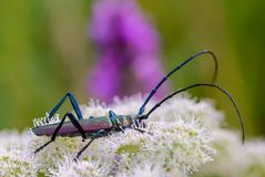 Very large beetle with long mustaches sits on the inflorescence. Of the cow grouse stock image