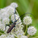 Very large beetle with long mustaches sits on the inflorescence. Of the cow grouse royalty free stock image