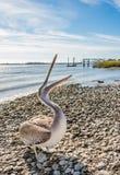 Brown Pelican feeding Royalty Free Stock Image