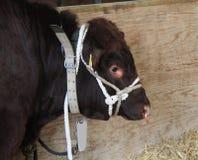 Very Large Bull. Stock Photo