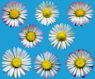 DaisyBlossomsBlue Royalty Free Stock Photography