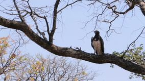 Very large eagle african Martial Eagle stock video footage