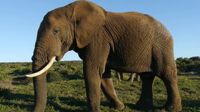 Very large elephant stock video footage