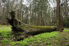 Very Large Felled Tree in Forest Covered in Green Moss royalty free stock image