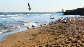 Very large flock of seagulls on the beach. The very large flock of seagulls on the beach stock footage