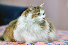 Very large fluffy cat Royalty Free Stock Image