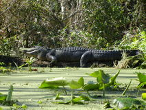 Very Large Gator Royalty Free Stock Images