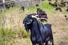 A very large goat, herdler`s animal, Canarian species, black long coat, twisted long horns. Long floppy ears and long black beard, pronounced size. He stands royalty free stock photos