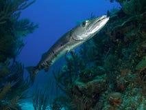 Very large great barracuda in Jardin de la Reina Cuba Stock Image