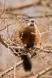 Very large groundhog on a very small branch. Large woodchuck sitting on a perilously thin branch royalty free stock photos