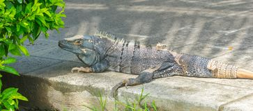 Very large 10 kilo Black Iguana Ctenosaura similis resting by a shrub on a sidewalk. Very large 10 kilo Black Iguana Ctenosaura similis resting by a shrub on a royalty free stock photo