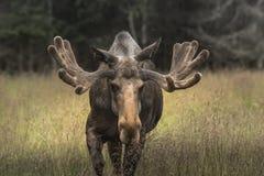 Very large male moose buck walking on a grass field in Sweden royalty free stock image