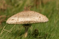 Fungus Mushroom or toadstool. A very large mushroom growing in the grass Royalty Free Stock Photo