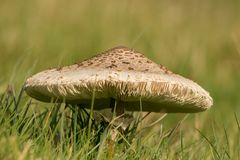 Fungus Mushroom or toadstool. A very large mushroom growing in the grass Stock Photos
