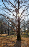 Very large oak trees Royalty Free Stock Photography