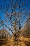 Very large oak trees Stock Photos