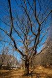 Very large oak trees Royalty Free Stock Photos