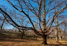 Very large oak trees Royalty Free Stock Photo