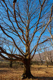 Very large oak trees Royalty Free Stock Images