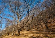 Very large oak trees Royalty Free Stock Image